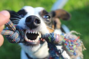Nueve maneras de mantener limpios los dientes de tu perro.