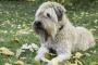 Inflamación del nódulo linfático, tracto intestinal (linfangieasia) en perros