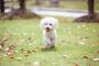 Coágulo de sangre cardíaca (aórtica) en perros