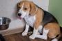 Metoclopramida para perros: usos, dosis y efectos secundarios.