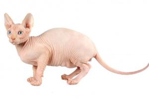 El gato Sphynx