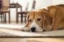 Parálisis debido a la lesión de la médula espinal en los perros