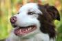 Topetones en la piel (dermatosis granulomatosas) en perros