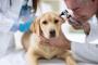 Razas de perros propensas a las infecciones del oído