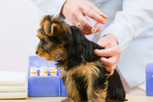 Vacunas de perros: un programa para cada etapa de la vida
