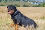 Albúmina baja en sangre en perros
