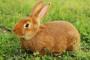 Infección bacteriana o quistes llenos de líquido de las glándulas lactantes en conejos
