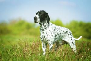 Cáncer de hígado y bazo (hemangiosarcoma) en perros