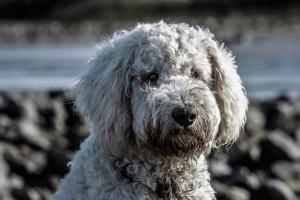 Bartonelosis: otra razón para que los dueños de mascotas destierren las pulgas