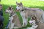 Cómo enseñarle a tu perro Husky a dejar de saltar sobre las personas