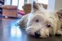 Fibrosis pulmonar en perros: síntomas, causas y tratamientos.