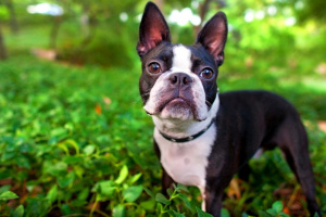 Síndrome de dificultad respiratoria aguda (SDRA) en perros