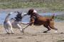 El perro es repentinamente agresivo con otros perros