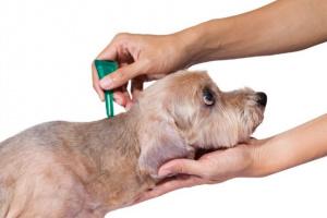 Envenenamiento por pulgas y garrapatas en perros