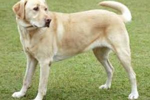 Enfermedad muscular hereditaria (Miopatía no inflamatoria) en Labrador Retrievers