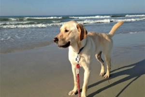 La cirrosis hepática y fibrosis en perros