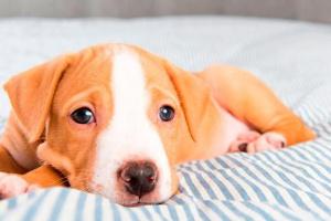 ¿Cómo sé si mi cachorro tiene fiebre? ¿Qué es normal para un cachorro?