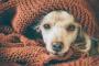 Neumonía (bacteriana) en perros