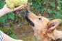 ¿Pueden los perros comer uvas?