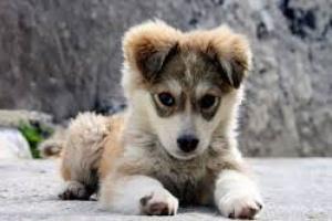 Micción dolorosa y frecuente en perros