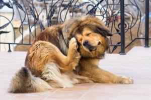 Garrapatas y control de garrapatas en perros