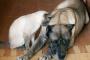 ¿Los perros experimentan dolor? Esto es lo que dice la ciencia