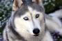 Cómo cuidar a un husky siberiano