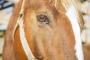 Úlceras corneales en caballos