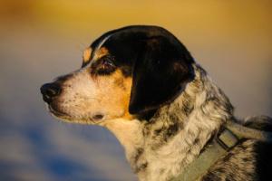 Inflamación hepática en perros