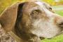 5 Signos de que la visión de su perro está empeorando