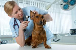 Infección del oído del perro - Síntomas y tratamientos