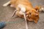 Cómo jugar con su gato