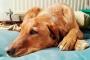 Insuficiencia renal (a largo plazo) en perros