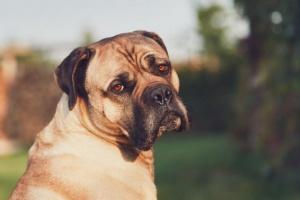 Cáncer de próstata en perros: síntomas, causas y tratamientos.