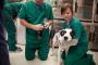 Cómo tratar gusanos del corazón en perros