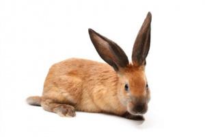 Dolor de corvejones en conejos
