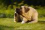 Control de pulgas y alergias a mordeduras de pulgas en perros