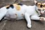 Síntomas del estro después de la esterilización en gatos