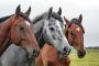 Comportamiento social normal en caballos