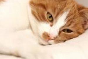 Gatos con cáncer: ¿qué deberían comer?