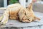 Enfermedad del hígado graso en los gatos