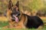 Hiperparatiroidismo debido a insuficiencia renal en perros