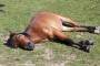 Metritis contagiosa equina (CEM) en caballos