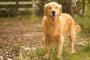 Diarrea (a largo plazo) en perros