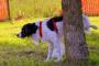 ¿Por qué mi perro aún marca después de haber sido castrado?