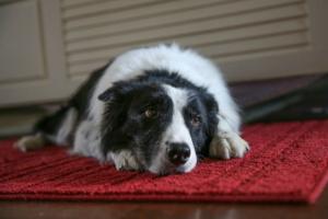 Trastorno de Estómago (Pérdida de Motilidad) en Perros
