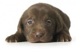 ¿Qué causa que un cachorro deje de crecer?