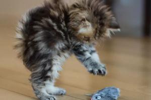 Cómo prevenir la agresividad de su gato al jugar