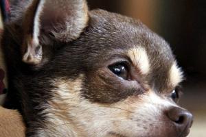 ¿Pueden los perros llorar y qué es exactamente el llanto de un perro?