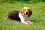 Ampliación de riñón en perros